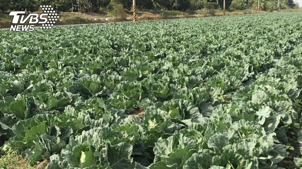 農民搶種高麗菜導致價格崩盤。(圖/中央社) 農民秋冬以來續搶種 高麗菜跌破監控價崩盤