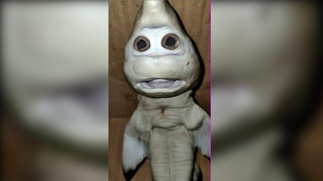 印尼漁民捕獲人面鯊魚。(圖/翻攝自the compost club ooc Twitter) 印漁民捕獲「人面幼鯊」 凸眼直瞪、嘴微張模樣超詭異