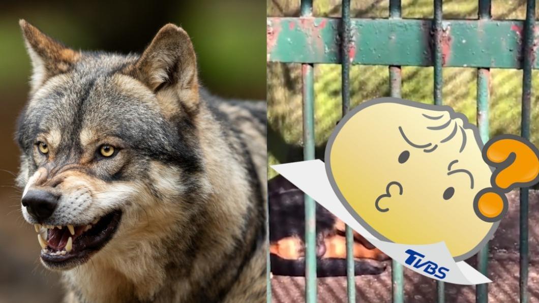 大陸一間動物園魚目混珠,將狗當成狼放置鐵籠裡。(圖/shutterstock 達志影像、翻攝自微博) 臨演?陸動物園寫「狼在此」 男一看狗露無辜大眼