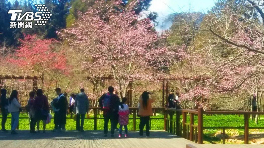 (圖/中央社) 櫻花開好了!阿里山花季將至 林管處淨山迎遊客