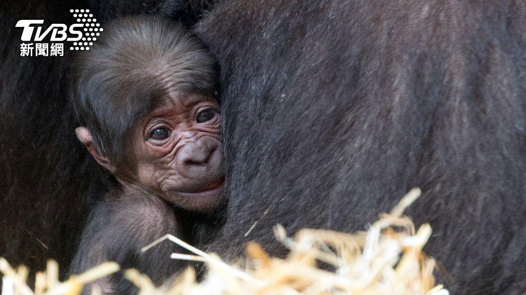 北市動物園移居荷蘭的金剛猩猩當爸,獲第50隻寶寶。(圖/中央社) 金剛猩猩「寶寶」荷蘭當爸 園方迎第50隻新生兒