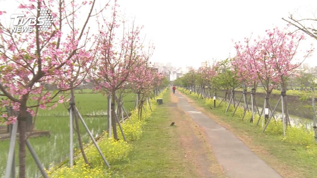 全台最長平地櫻花步道 羅東春節盛開