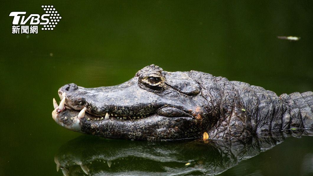 陸民眾路邊撿小鱷魚,回家養成190公分巨鱷。(示意圖,與事件無關/shutterstock達志影像) 陸飼主撿路邊幼獸養 暴風長大「190cm怪物」急報警
