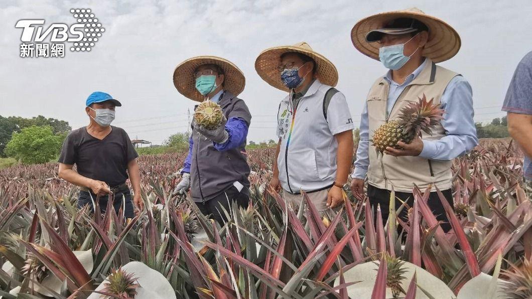 圖為黃偉哲(左2)日前體驗採收鳳梨。(圖/中央社) 台南鳳梨接單順 黃偉哲:今年產銷過關沒問題