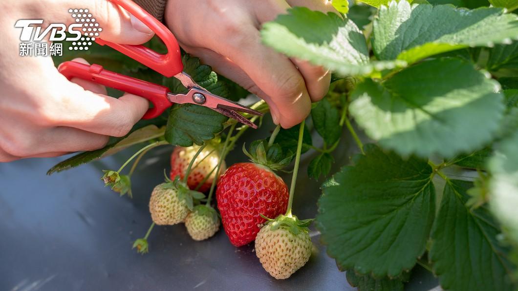 草莓「一大籃80元」 內行揭關鍵主因