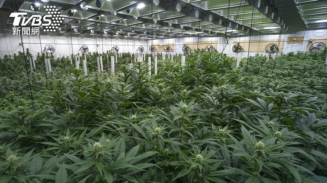 種植大麻擬將修法減刑。(示意圖/shutterstock 達志影像) 種大麻「非販毒」關5年變1年 政院最快明通過修法草案