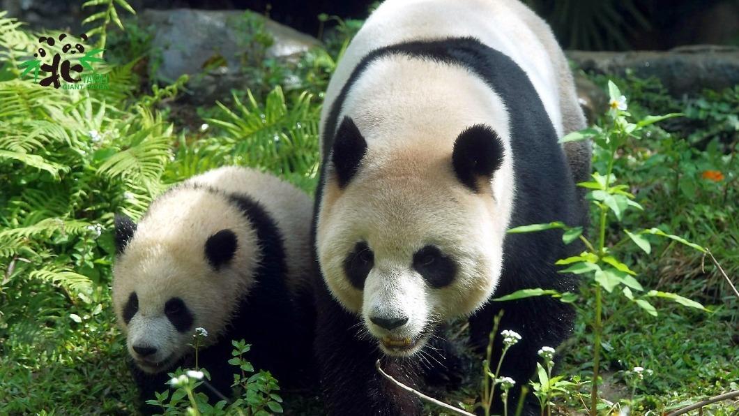 圓寶近日成為台北市動物園人氣動物。(圖/翻攝自台北市立動物園臉書) 只知團團圓圓太遜!超療癒「動物園寶寶」人氣大PK