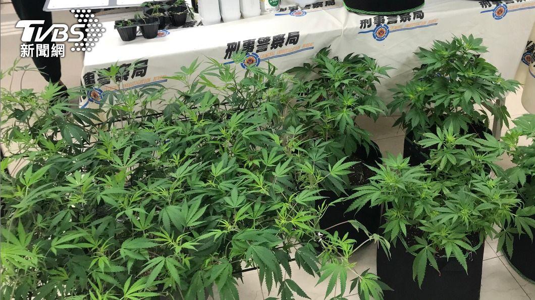 (圖/中央社) 種大麻一律罰5年以上違憲 政院通過區別刑度修法案