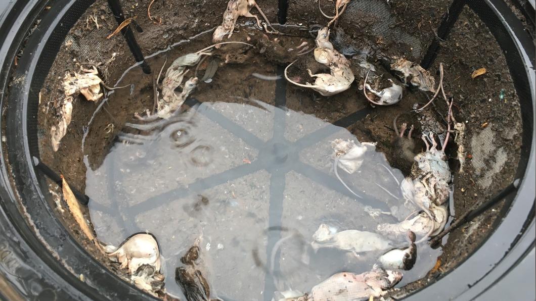 澳洲一名女子發現家中水塔有10多隻鼠屍。(圖/翻攝自Louise Hennessy臉書) 澳鼠患猖狂 女開水塔驚見「逾10隻殘破鼠屍」漂浮