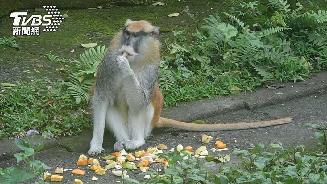 紅猴「男道」重返北市動物園。(圖/中央社) 紅猴「男道」回家了! 北市動物園蘋果誘惑奏效