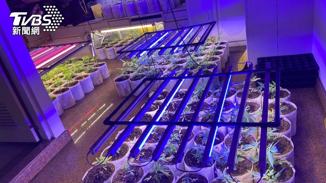 (圖/中央社) 大麻種植工廠藏飲料店樓上 3人送辦主嫌羈押