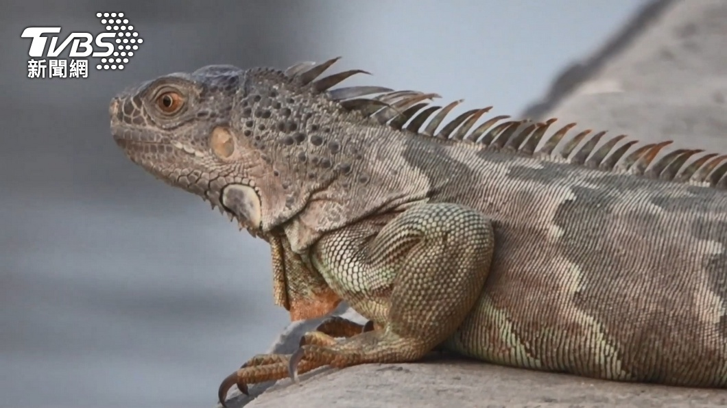 近年來綠鬣蜥,卻傳出有業者以一隻300元進行販售。(圖/TVBS) 抓不完了還賣! 高雄寵物店涉違法賣綠鬣蜥擬罰30萬