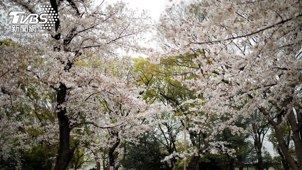 圖/達志影像路透社 史上第二早! 日東京櫻花提前12天滿開
