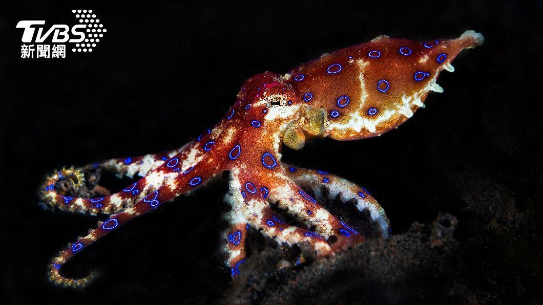 藍環章魚的毒性可在幾分鐘內毒死26名成人。(示意圖/shutterstock達志影像) 洋女海岸撿「鮮豔小章魚」狂玩 回家驚與死神擦身崩潰