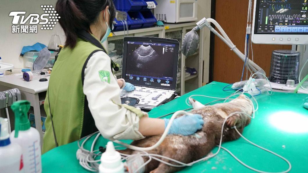 (圖/中央社) 北市動物園水獺「莎夏」首健檢 患有先天心臟疾病