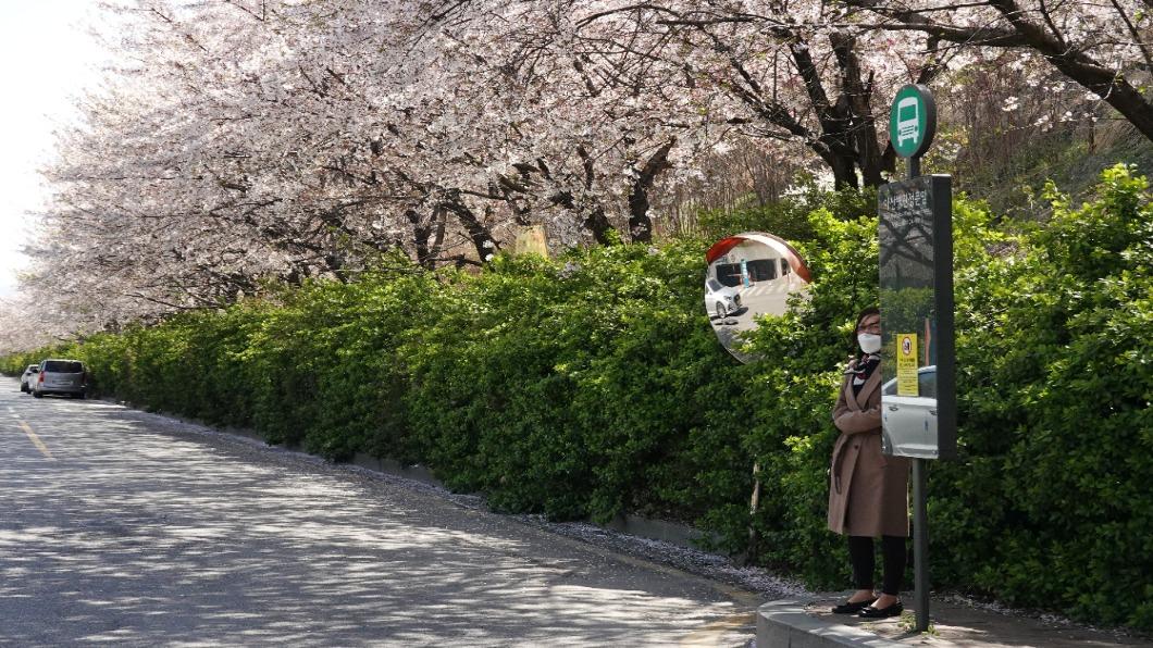 圖/達志影像路透 百年來最早的一年!首爾春暖「櫻花」開了