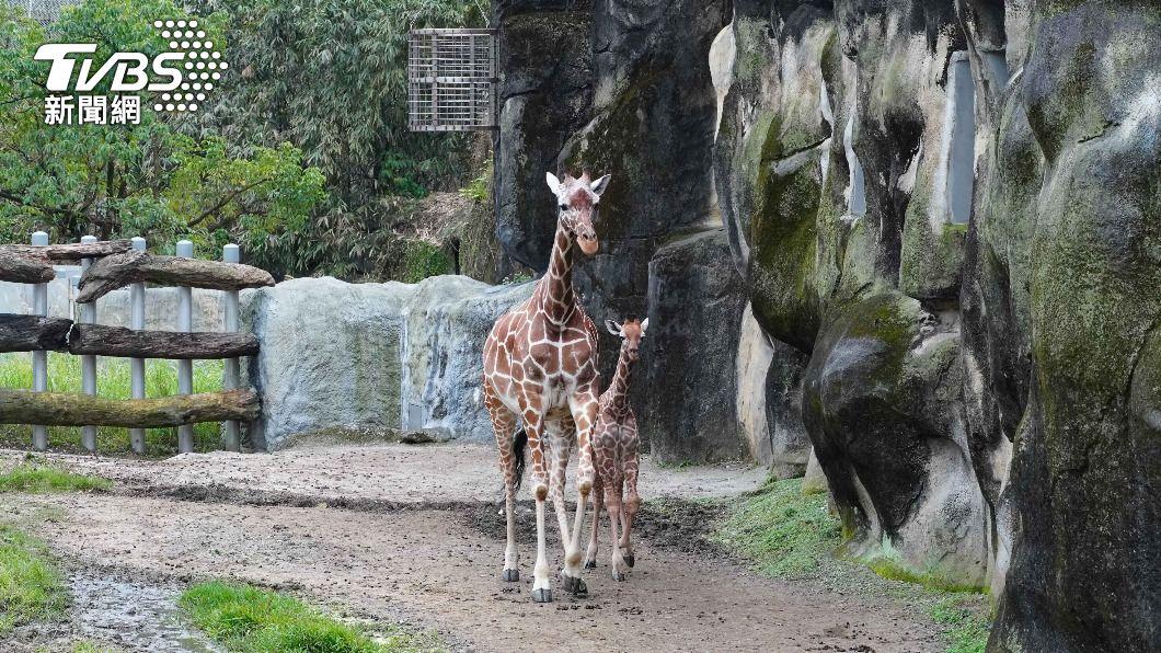 3月大的長頸鹿寶寶「麥芽」(右)與媽媽「小麥」(左)。(圖/中央社) 北市動物園長頸鹿寶寶「麥芽」見客 想目睹須耐心