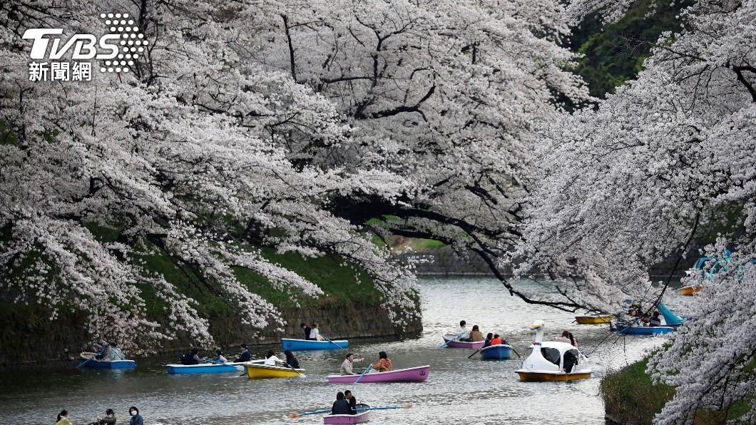 京都櫻花比往年提早盛開。(圖/達志影像路透社) 京都櫻花提前盛開創千年來紀錄 氣候變遷成主因