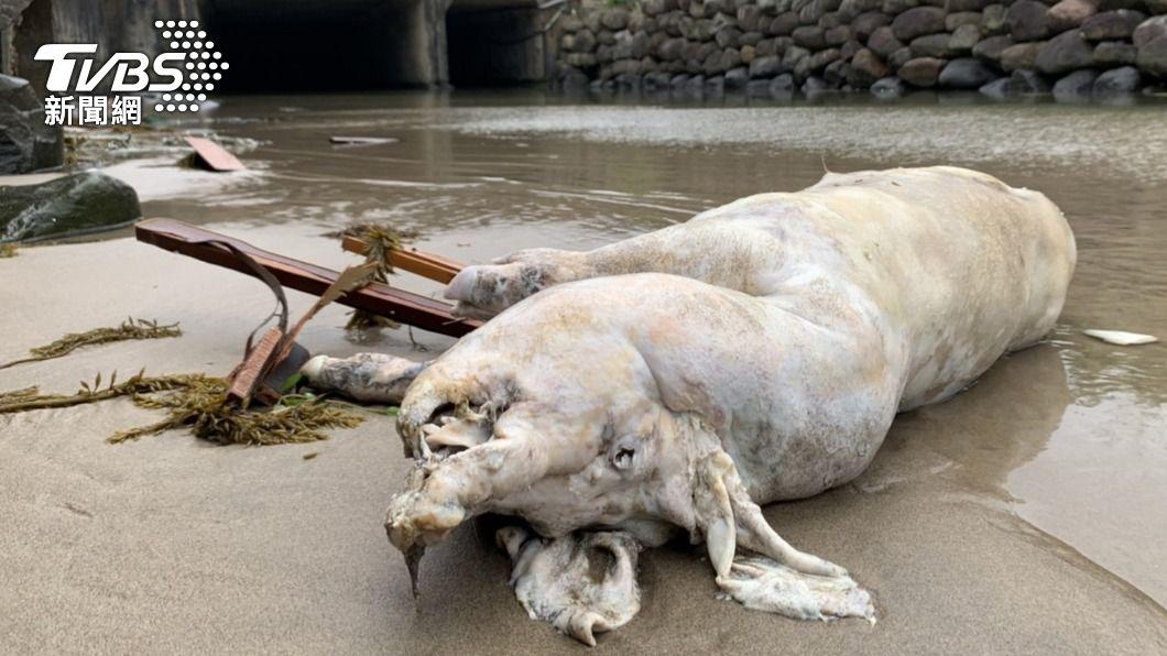 海巡署在新北市萬里區岸際發現1隻死亡豬隻,檢出非洲豬瘟陽性。(圖/中央社) 萬里海漂豬驗出非洲豬瘟 台灣本島首見待釐清來源