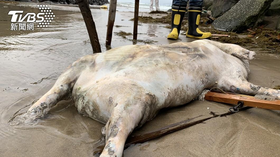 台灣本島首例非洲豬瘟陽性海漂豬。(圖/中央社) 周邊養豬場檢驗陰性! 萬里死豬估「大陸漂來的」