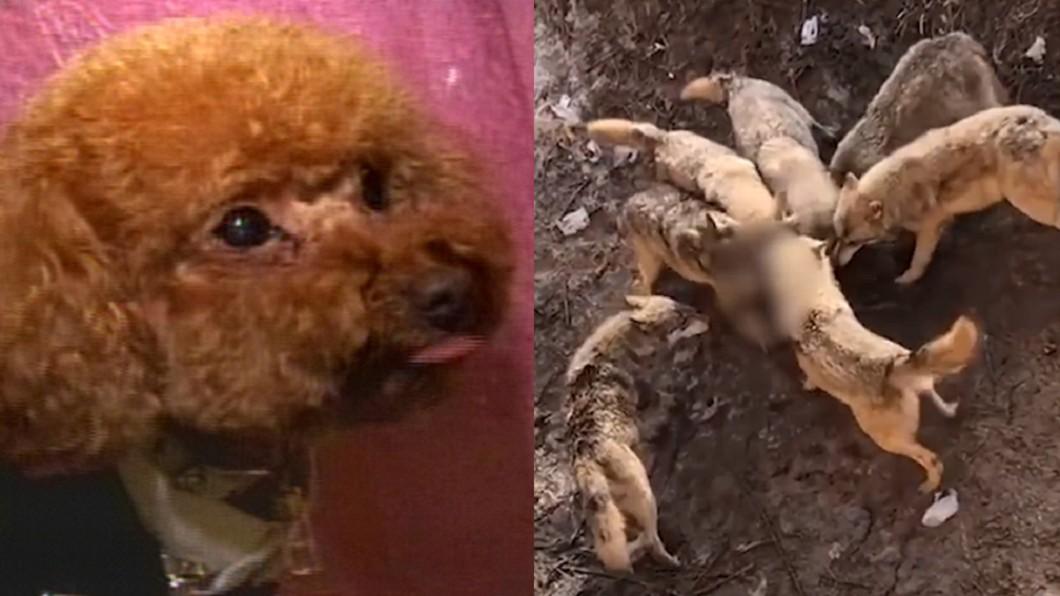 貴賓犬墜落圍欄慘被搶食。(非當事犬,合成圖/TVBS、翻攝自漩渦視頻) 抱愛犬去看狼群 陸女「手滑噴飛」害牠被搶食慘死