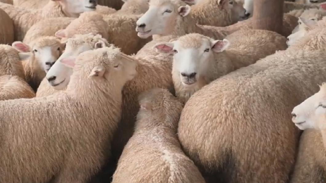 美增陸關稅、新冠肺炎流行 紐西蘭羊毛遭遇危機