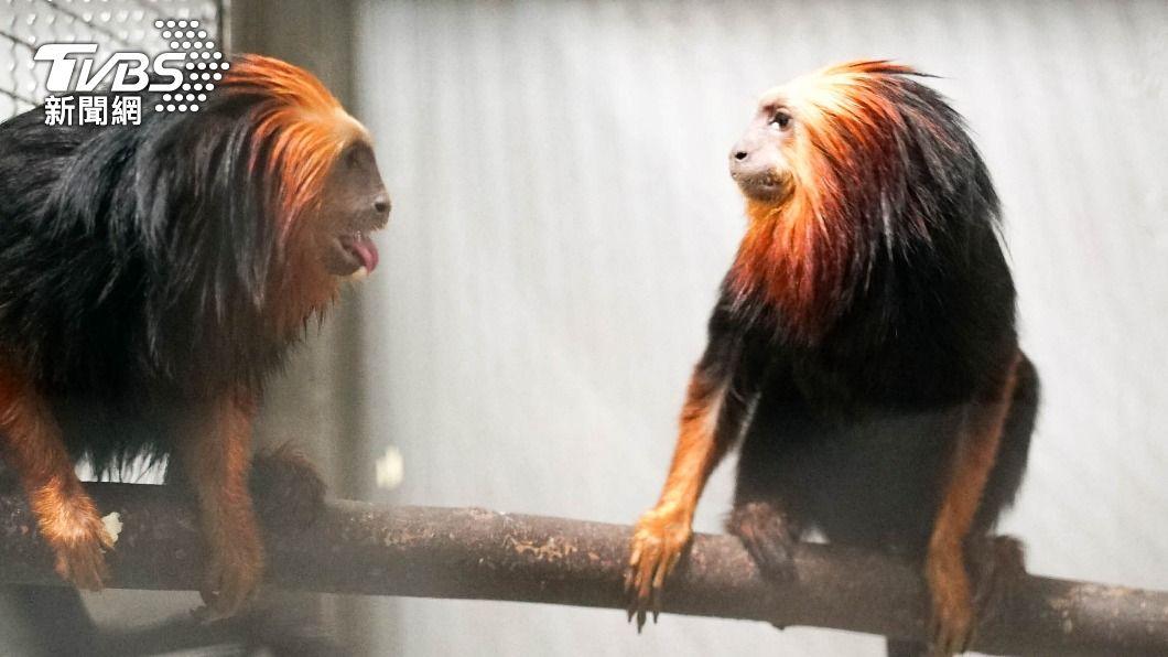 (圖/中央社) 台北動物園首次引進 金頭獅狨、黑吼猴來報到