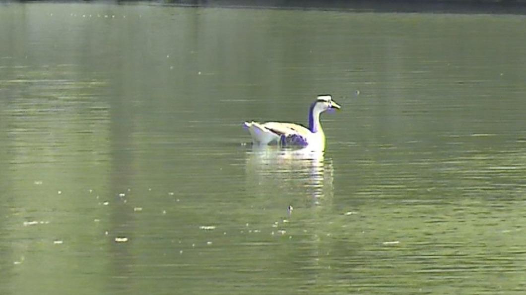 台灣大學醉月湖的鵝疑慘已遭殺害。(圖/TVBS) 台大醉月湖野生鵝慘遭殺害裝箱 冷血男惹怒師生