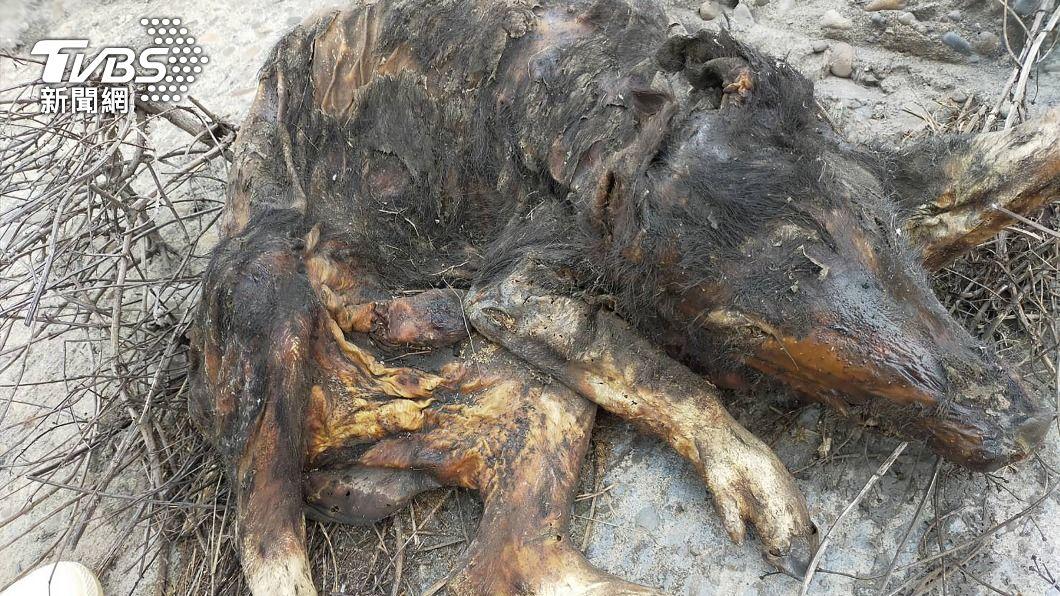 彰化海岸發現一具豬屍。(圖/中央社) 繼萬里後彰化海岸驚見豬屍 海巡署初判結果出爐