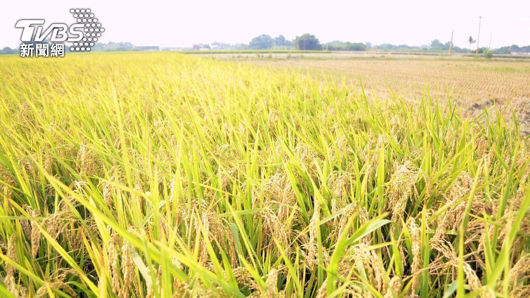 (圖/中央社) 農業旱象首現緩解 近期天降甘霖水稻、果樹受惠