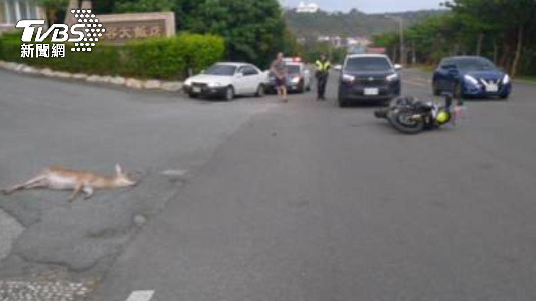 墾丁發生撞鹿車禍。(圖/警方提供) 墾丁梅花鹿突衝出馬路 遭騎士撞上釀「1死1傷」
