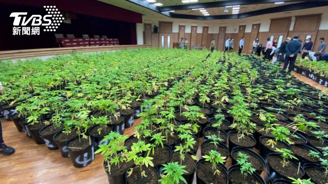 調查局查獲1608株大麻植株。(圖/中央社) 查獲1608株大麻植株 調查局:緝毒史上最大量