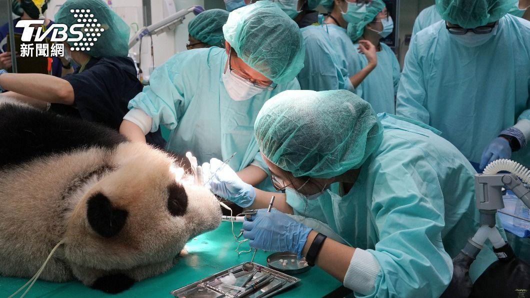 大貓熊「圓仔」麻醉健檢。(圖/中央社) 大貓熊「圓仔」第2次麻醉健檢 斷牙治療順利完成