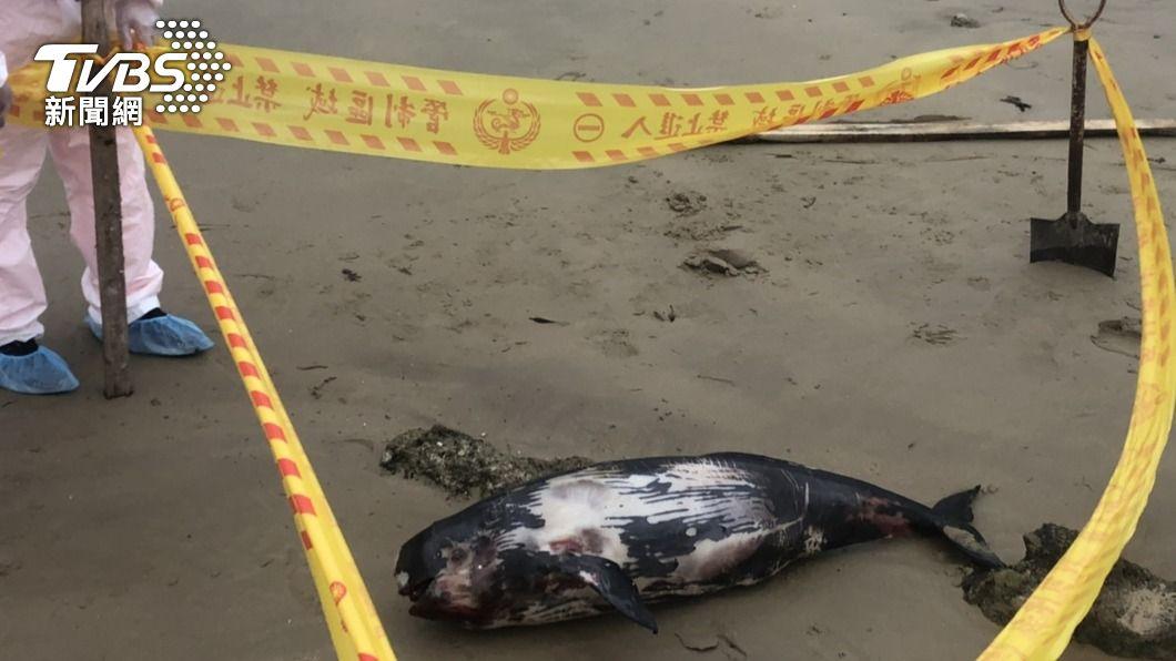 馬祖頻傳鯨豚擱淺意外。(圖/中央社) 馬祖今年頻傳露脊鼠海豚擱淺事件 累積共11例