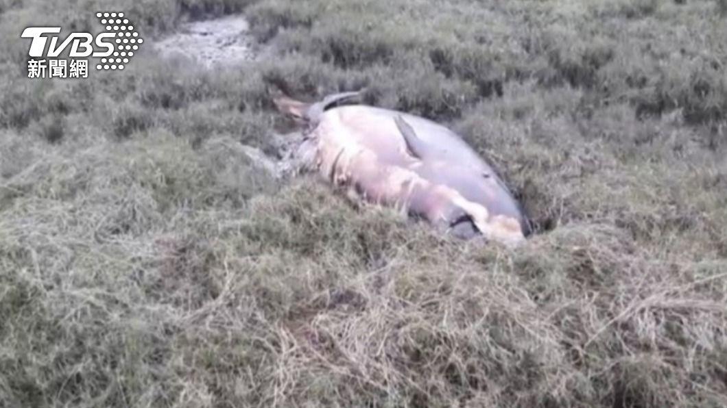 高美濕地發現擱淺抹香鯨。(圖/中央社) 200公斤抹香鯨擱淺高美濕地 搶救不及死亡