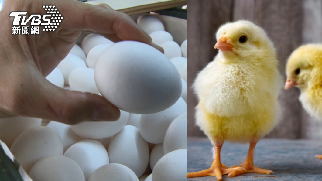 女校長實驗「水煮蛋孵小雞」。(示意圖/TVBS、shutterstock 達志影像) 奇葩實驗!陸校長迷「特異功能」:40顆熟蛋變生蛋