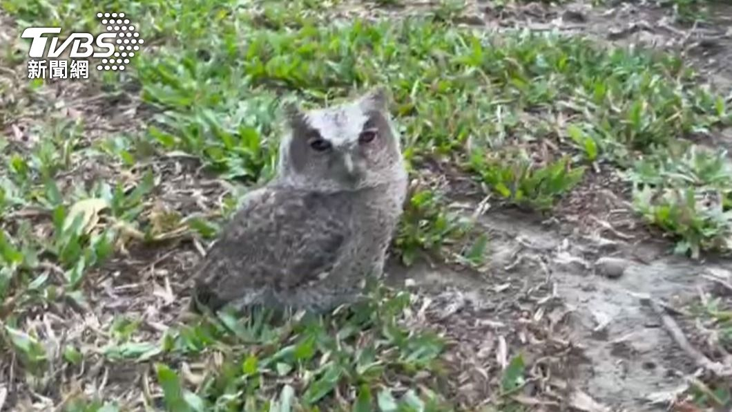 台南水道博物館發現領角鴞幼鳥疑似因學飛不慎墜地。(圖/TVBS) 領角鴞幼鳥草地歪頭打瞌睡萌爆 台南水道博物館成棲地