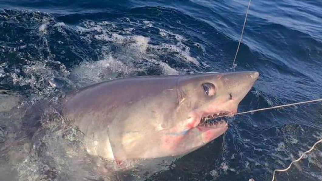 英男釣到一尾重達227公斤的鼠鯊。(圖/翻攝自推特) 刷新紀錄?英男纏鬥1小時 釣起227公斤巨鯊再放生