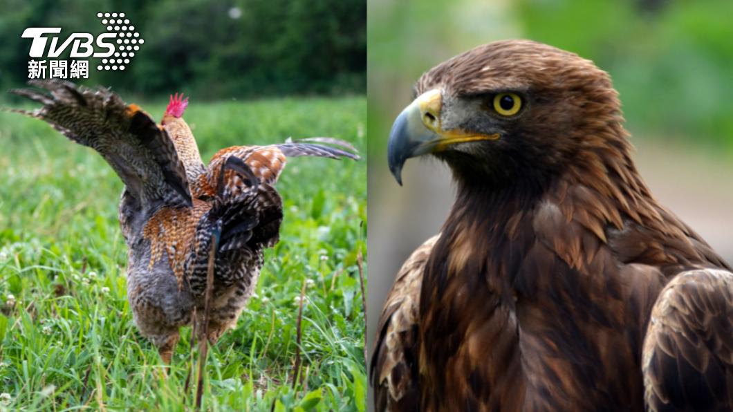 雞隻被老鷹驚嚇過度暴斃。(示意圖/shutterstock 達志影像) 活吞雞頭!老鷹闖雞舍吃buffet 近千隻嚇歪暴斃