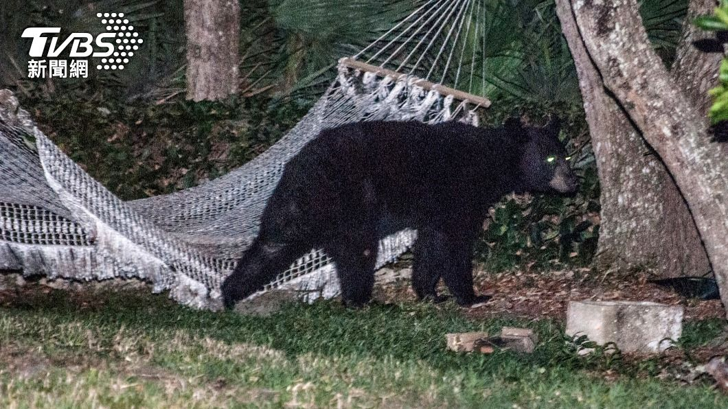 美國日前傳出黑熊吃人事件。(示意圖/達志影像路透社) 美國女子遛狗遭熊咬死 男友路邊見屍崩潰