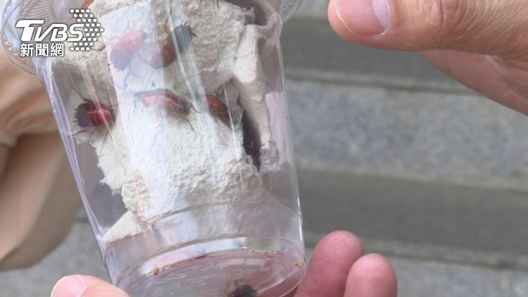 賣家出示櫻桃紅蟑。(圖/TVBS) 網購櫻桃紅蟑螂 賣家現身:對方很著急要上千隻
