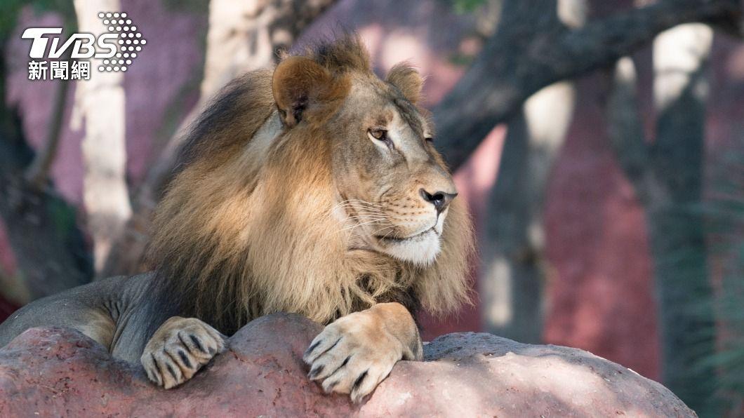 8頭獅子確診!印度疫情爆發 動物也遭殃