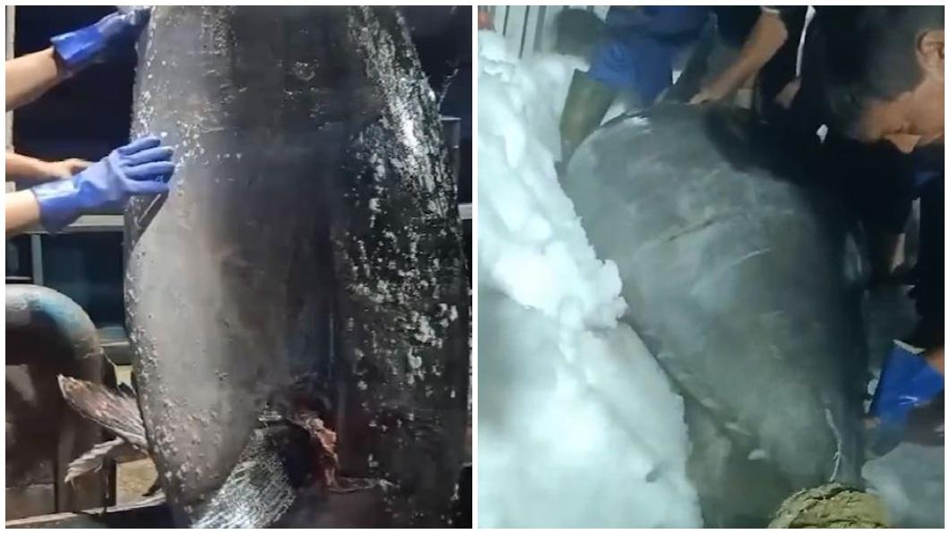 有大陸漁民日前捕獲一條北方藍鰭鮪魚,重達350公斤。(圖/翻攝自微博) 陸漁民捕「350公斤大魚」賣43萬 行家:少賺1個零