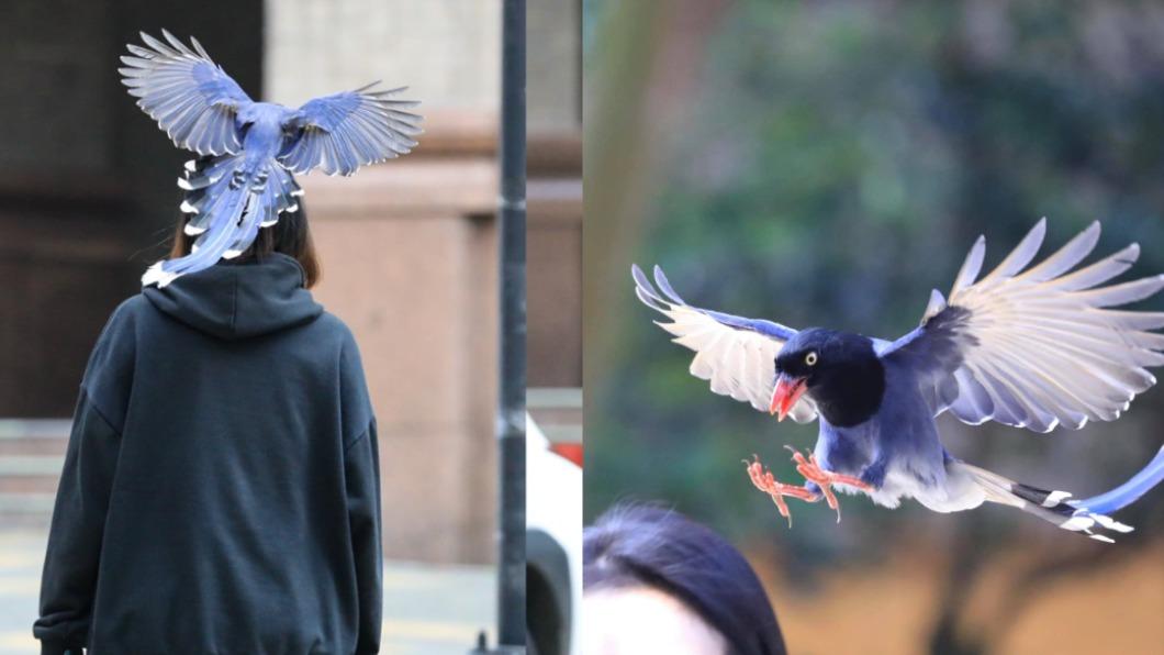 藍鵲攻擊學生的後腦勺。(圖/翻攝自中國文化大學臉書) 台灣藍鵲校園滿天飛 文大生遭振翅狂「巴」網樂:頭鑲金