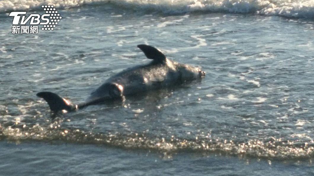 將軍生態公園沙灘發現一隻死亡鯨豚。(圖/中央社) 台南將軍沙灘發現死亡鯨豚 初判為保育類露脊鼠海豚