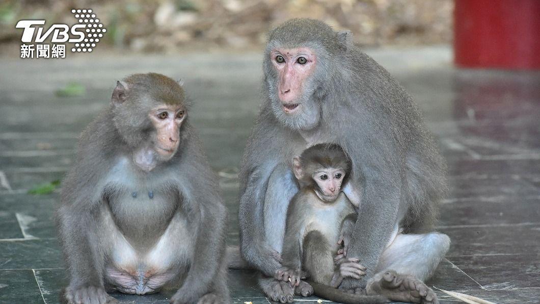 有民眾發現獼猴被捕獸鋏夾斷腳趾。(示意圖/中央社) 壽山獼猴遭獸鋏斷趾 高市農業局:最高開罰30萬