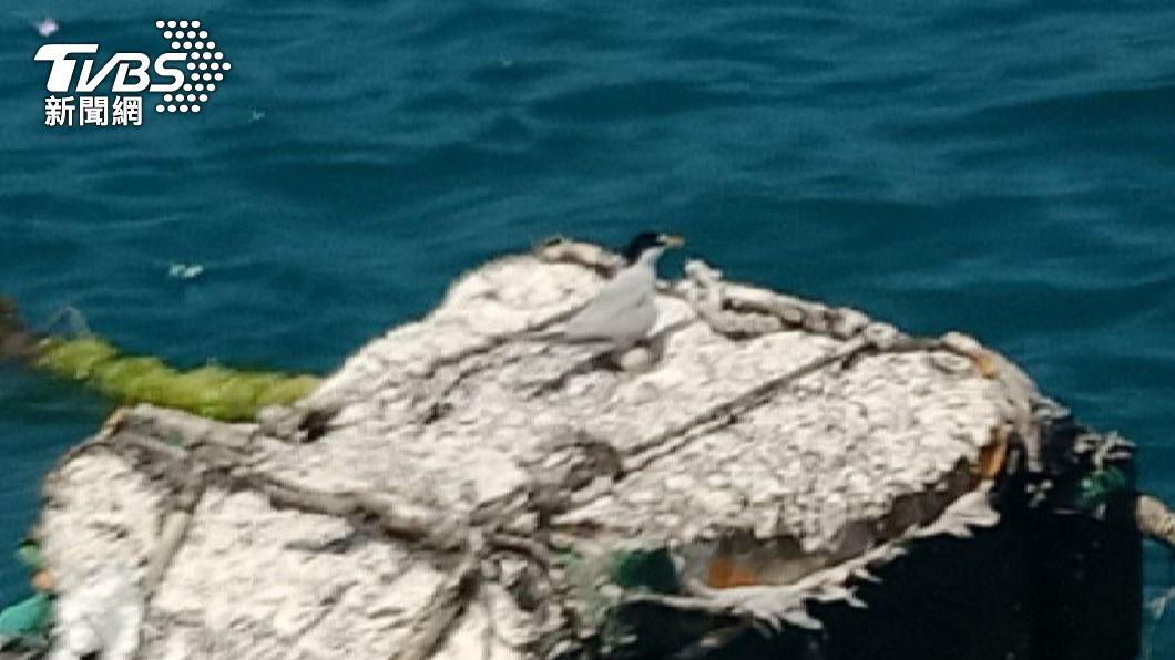 小燕鷗。(圖/TVBS) 奇觀!小燕鷗產卵箱網浮箱 原來為的是這個