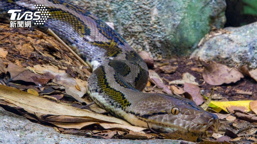 示意圖/shutterstock 達志影像 3.5公尺長蟒蛇「落跑」七天 橫濱居民人心惶惶