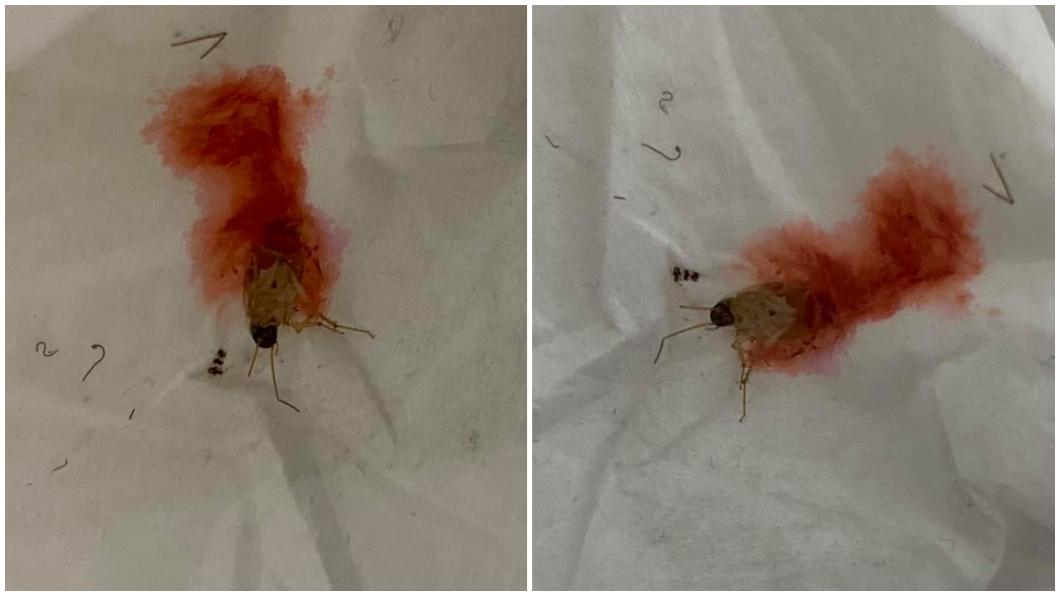 有網友打死蟑螂卻噴出紅色的血液。(圖/翻攝自爆廢公社公開版) 擊殺蟑螂噴發「紅色血液」 專家解惑:一屍多命