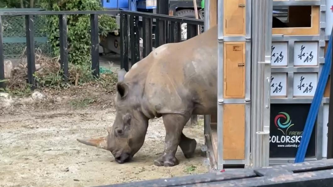 原住在六福村野生動物園區犀牛妹艾瑪在8日飛往日本。(圖/六福旅遊集團提供) 台日友好再+1 犀牛妹艾瑪為延續血緣成「日本媳」